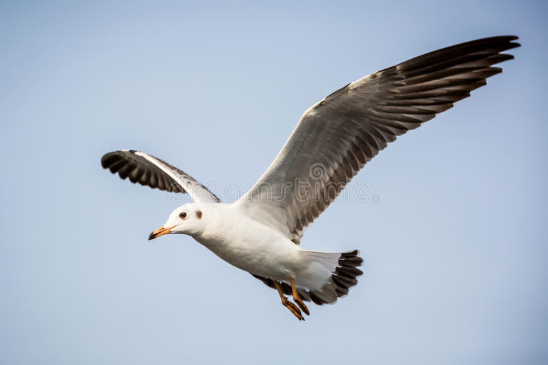Stock Photography Flying Seagull Blue Sky Image35383892