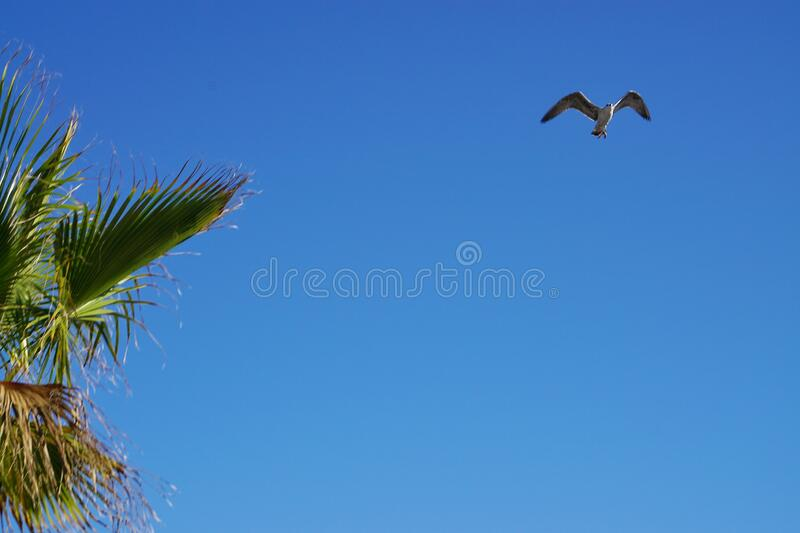 Flying seagull on a clear blue sky at morning sunlight. Palm tree branches on corner. Flying seagull on a clear blue sky with no clouds, at morning sunlight royalty free stock images