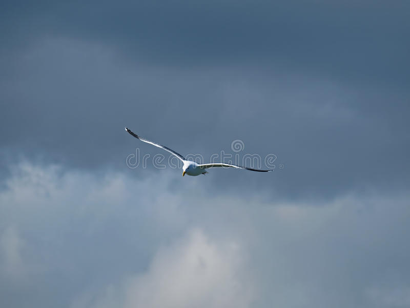 Flying Seagull in Cloudy sky royalty free stock images