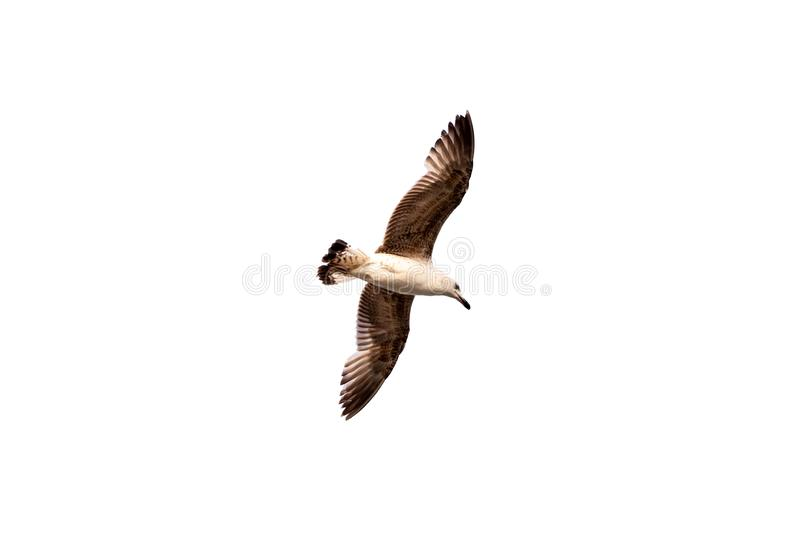 Flying Seagull isolated on white background. Single bird flying high with its wings spread wide, looking down royalty free stock image