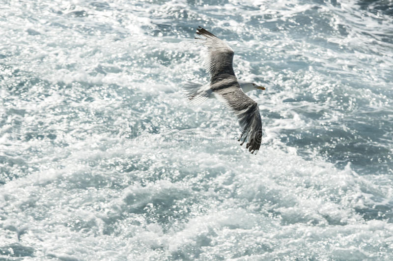 Flying seagull. Seagull flying over choppy sea stock images