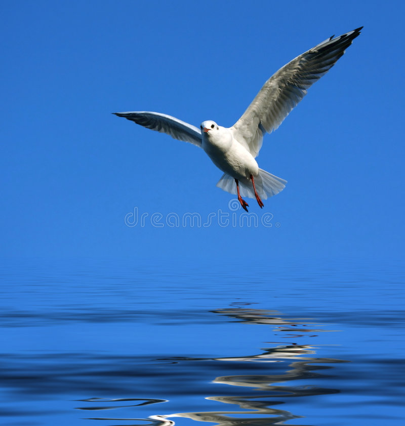 Free Flying Seagull Over Water Stock Photo - 2031370