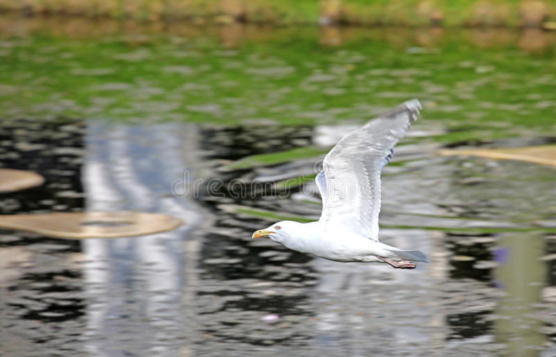 Flying seagull in Rotterdam, Netherlands royalty free stock image