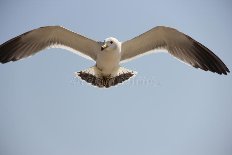 Flying seagull royalty free stock photography