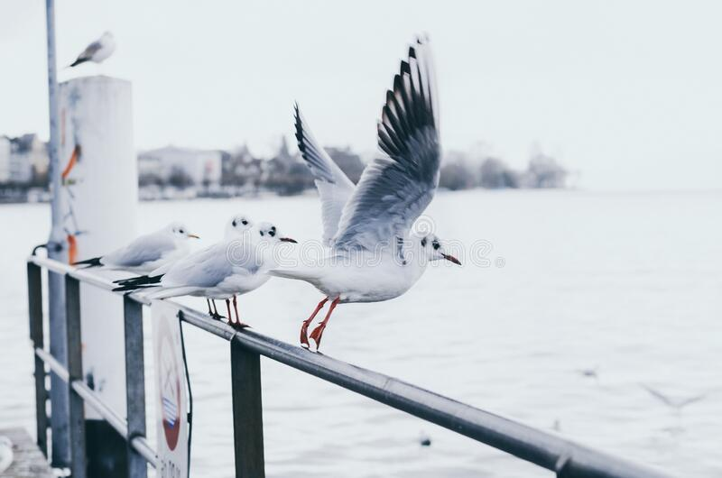 Flying seagull on the shore of Zurich, Switzerland.  royalty free stock photos
