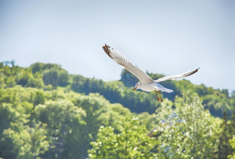 Flying seagul. royalty free stock photos