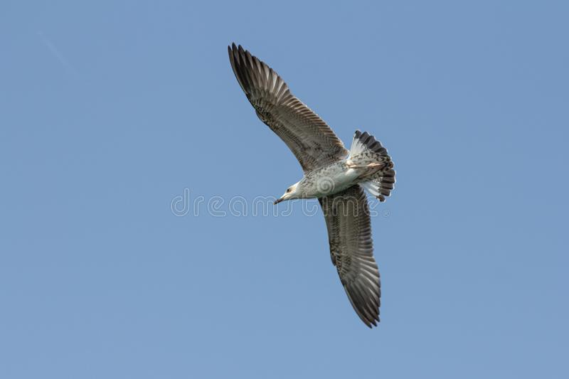 Flying seagull. On a summer day against clear blue sky royalty free stock photography