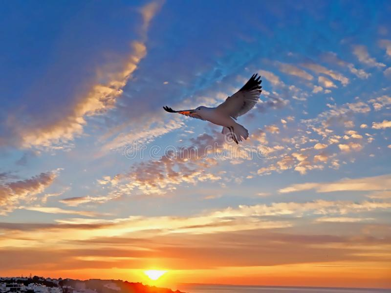 Flying seagull during sunrise royalty free stock photos