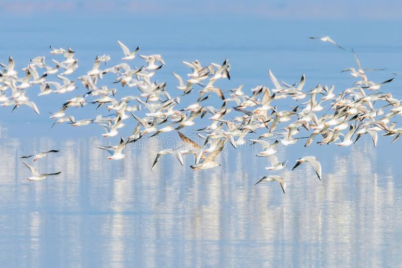 Flying Seagulls, flock of seagulls in flight, reflection in water stock image
