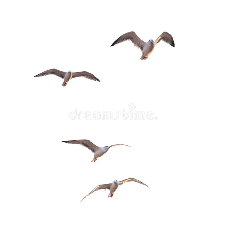 Download Flying seagulls stock photo. Image of feather, seagulls - 102384368