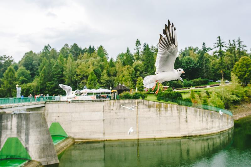 Flying seagulls near Medieval Niedzica Castle. Also known as Dunajec Castle. Poland royalty free stock photo