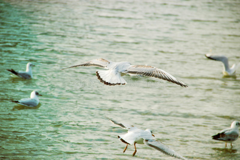 Flying Seagulls. Over Water Level royalty free stock photography