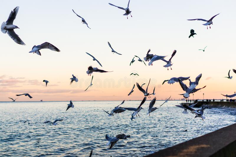 Flying seagulls at the seaside in Gdynia, Poland. stock photography