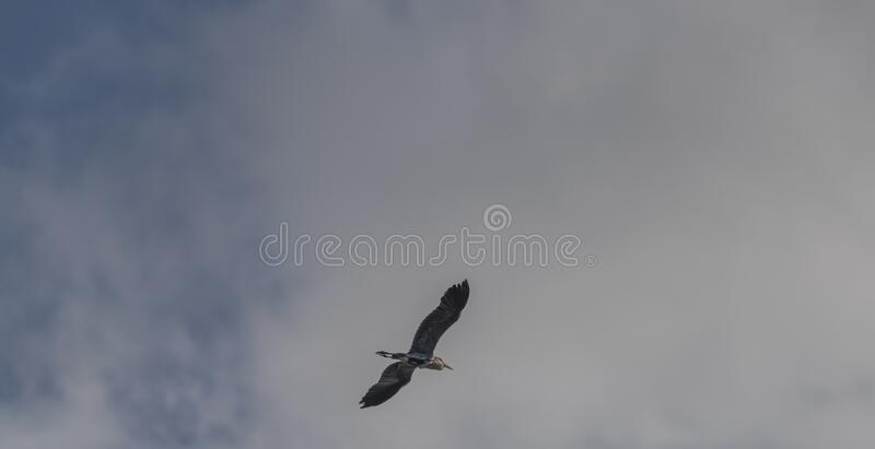 Flying silhouette of heron bird with blue sky and white clouds. Flying silhouette of heron bird with blue sky and white winter clouds, environment, lake stock images