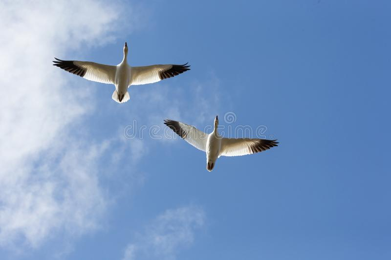 Snow goose migration. Flying snow goose migration at BC Canada royalty free stock photo