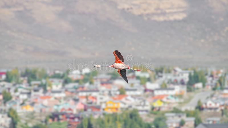 Flying solitary Rosy Flamingo over Calafate town, at the Nimez Bird Reserve, Patagonia, Argentina. Early Autumn time stock photo