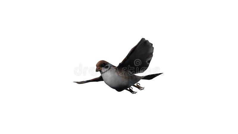 A flying sparrow royalty free stock photos