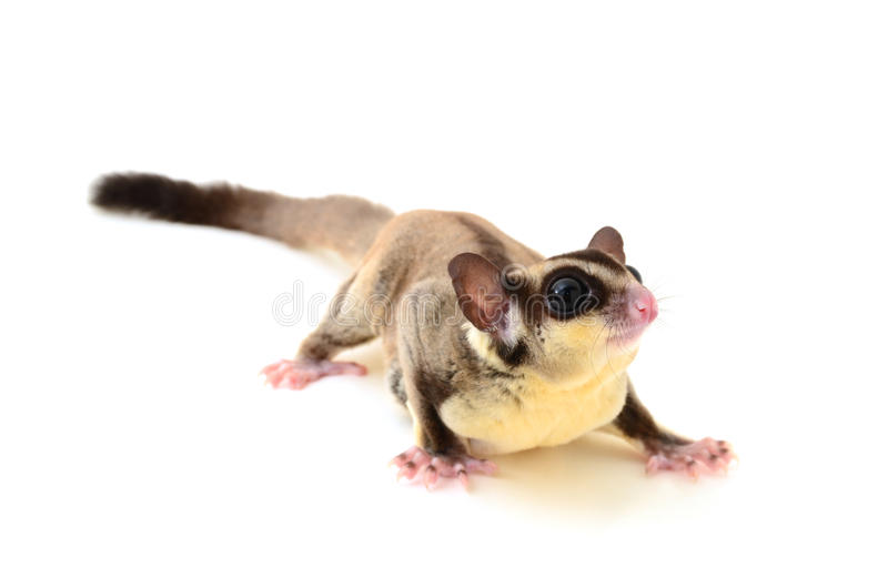 Download Flying squirrel stock image. Image of clipping, white - 26527151