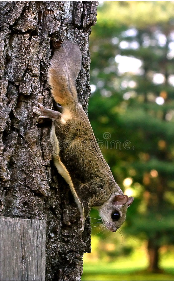 Flying squirrel stock images