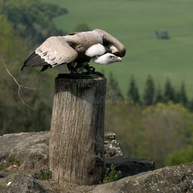 Flying start Griffon vulture stock image