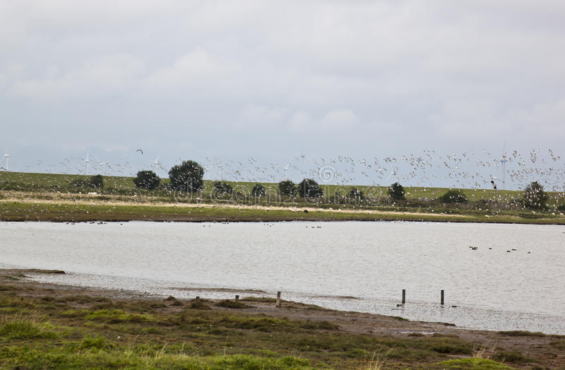Flying startled lapwings in the dutch Polder Breebaart. Lapwings fly startled in Polder Breebaart, located in the NE of The Netherlands, on the edge of the Eems stock image