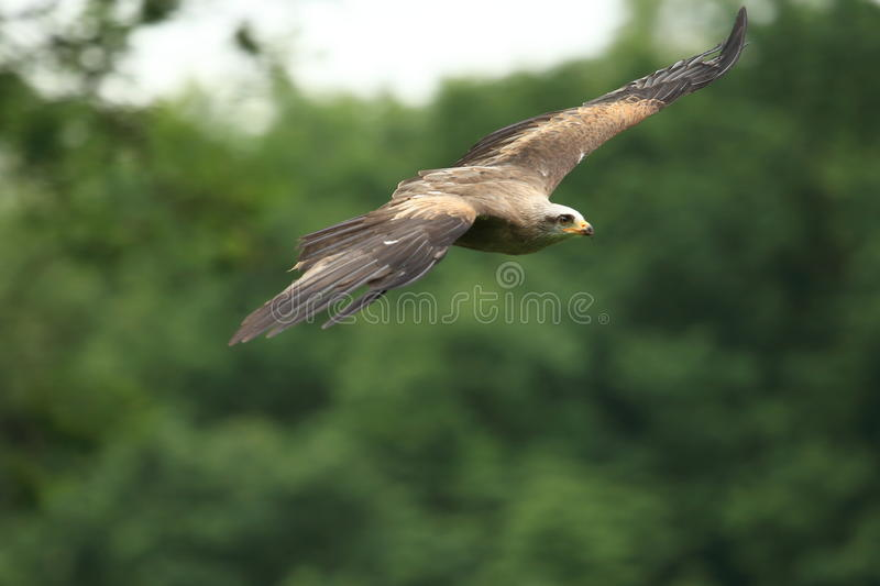 Flying steppe eagle royalty free stock photos