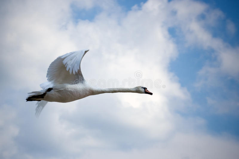 Flying swan. On cloudy blue sky royalty free stock image