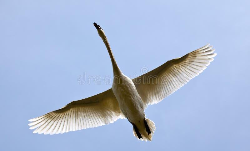 Flying Swan. Low Flying Swan at Rutland Water stock photo