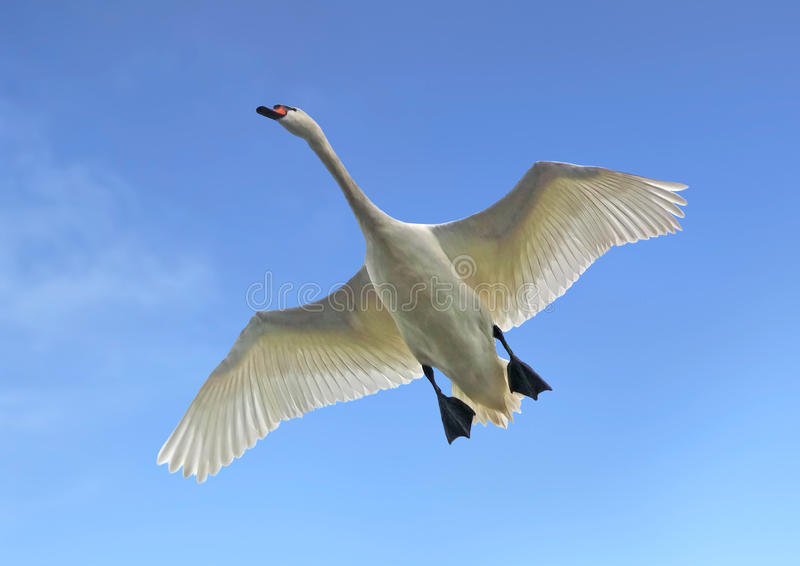 Flying Swan stock photo