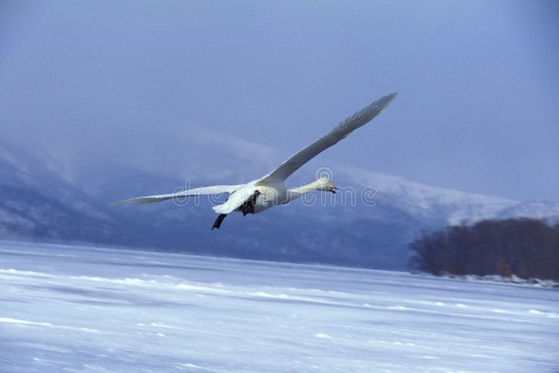 Download Flying Swan stock image. Image of beautiful, environment - 77355