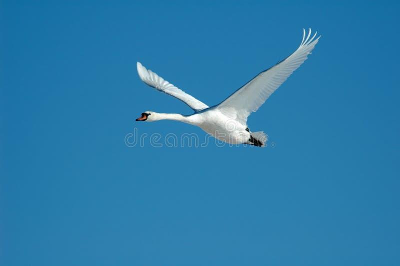 Flying swan stock image