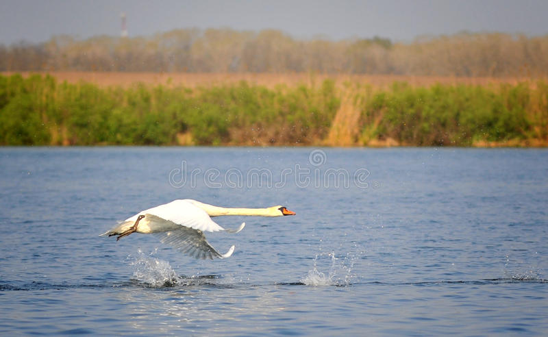 Flying swan. Danube Delta landscape with a flying swan stock photos