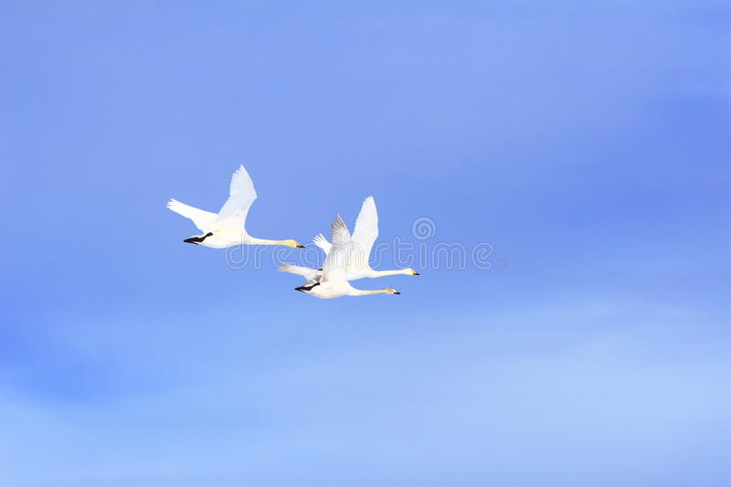 Flying Swan Family. In blue sky in Weihai, Shandong Province,China stock photography