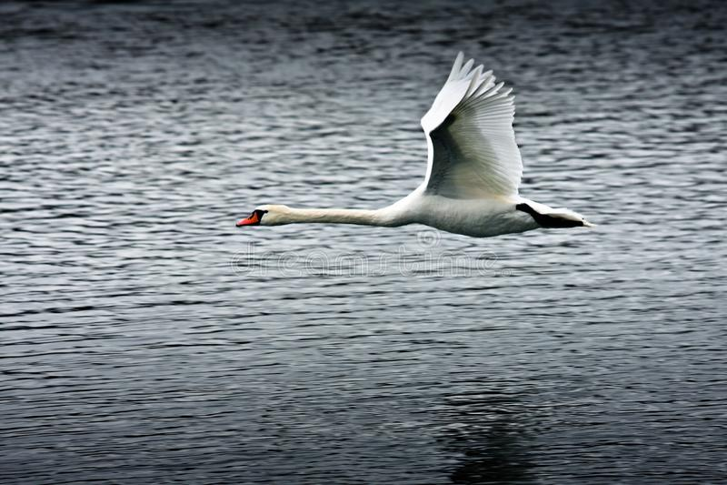 Flying swan. Over lake Velky Drazdiak, Bratislava, Petrzalka, Slovakia stock photography