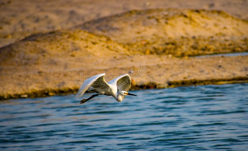Flying Swan on holy river Ganga. Flying swan holy river ganga stock photography