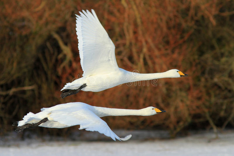 Flying with the Swans. A pair of Whooper Swans flying at the Wildfowl and Wetland Trust Reserve at Caerlaverock in South West Scotland, UK. These are migratory royalty free stock images