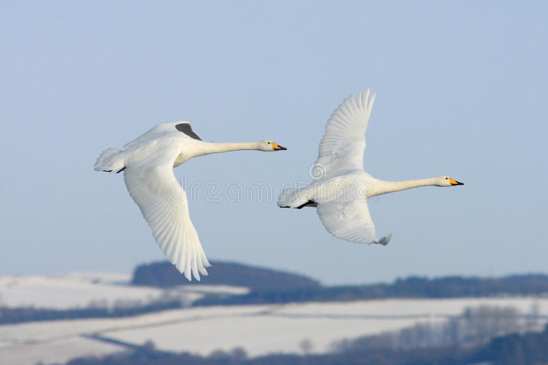 Flying with the Swans. A pair of Whooper Swans flying above snow covered hills at the Wildfowl and Wetland Trust Reserve at Caerlaverock in South West Scotland stock photos