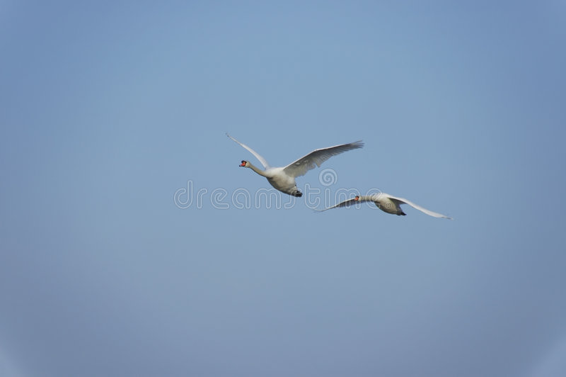 Download Flying swans stock image. Image of float, graceful, love - 2031913