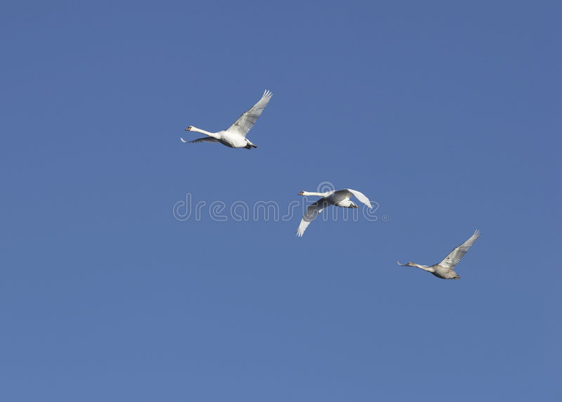 Flying swans stock photography