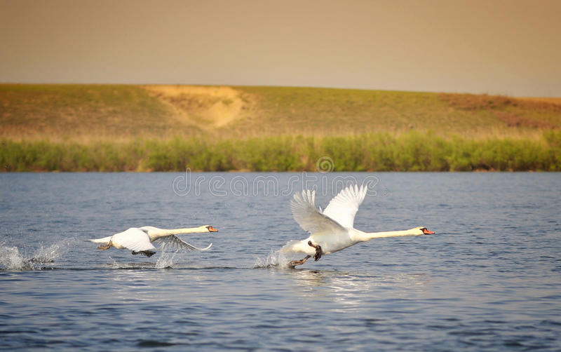 Flying swans. Danube Delta landscape with flying swans royalty free stock image