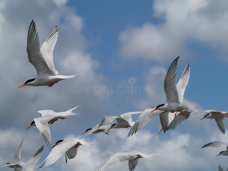 Flying Terns royalty free stock photo