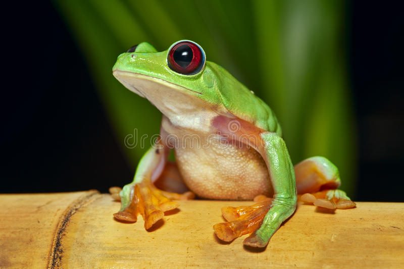 Flying tree frog Agalychnis spurrelli. Flying or gliding tree frog Agalychnis spurrelli lives in Amazon rain forest of Ecuador Colombia Panama and Costa Rica royalty free stock image