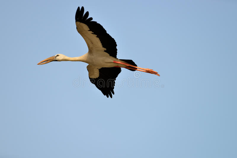 Flying Tropical bird heron royalty free stock image