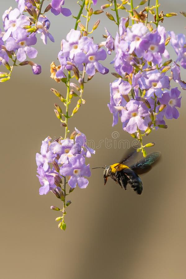 Flying tropical carpenter bee approaching the Duranta flower. With blurred brown background stock photography