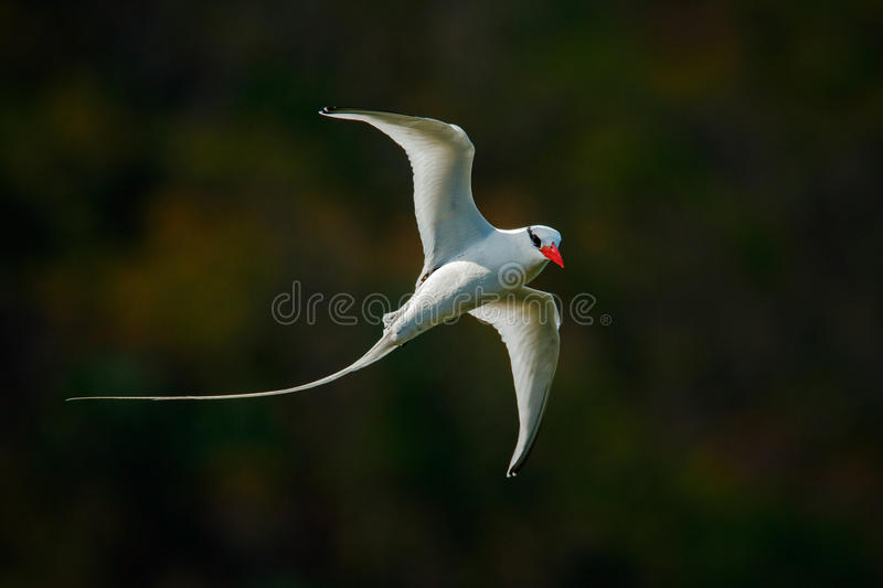 Flying Tropicbird with green forest background. Red-billed Tropicbird, Phaethon aethereus, rare bird from the Caribbean. White royalty free stock image