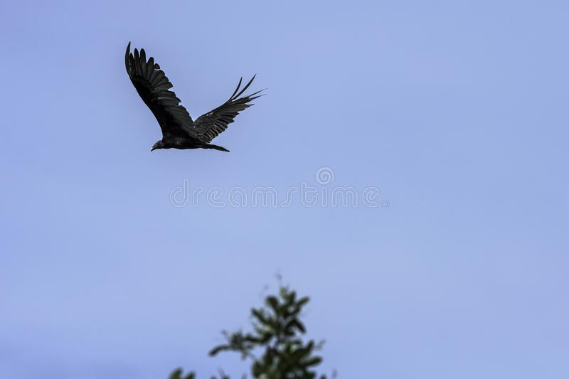 Flying Turkey Vulture cathartes aura, also known as the Turkey Buzzard, John Crow or Carrion Crow - Peninsula de Zapata stock images