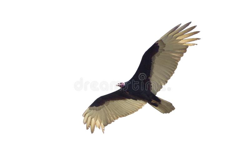 Flying Turkey vulture isolated on white royalty free stock photo
