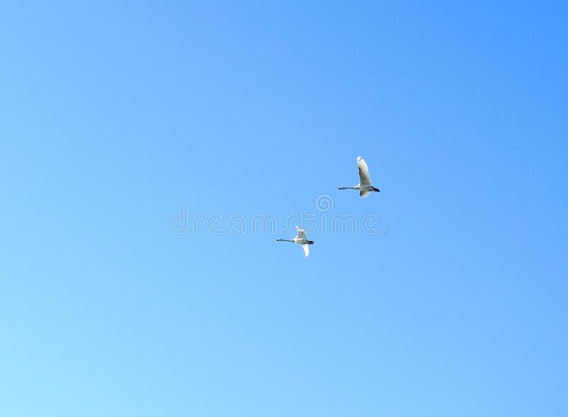 Flying two white swans in blue sky background, Lithuania stock photo