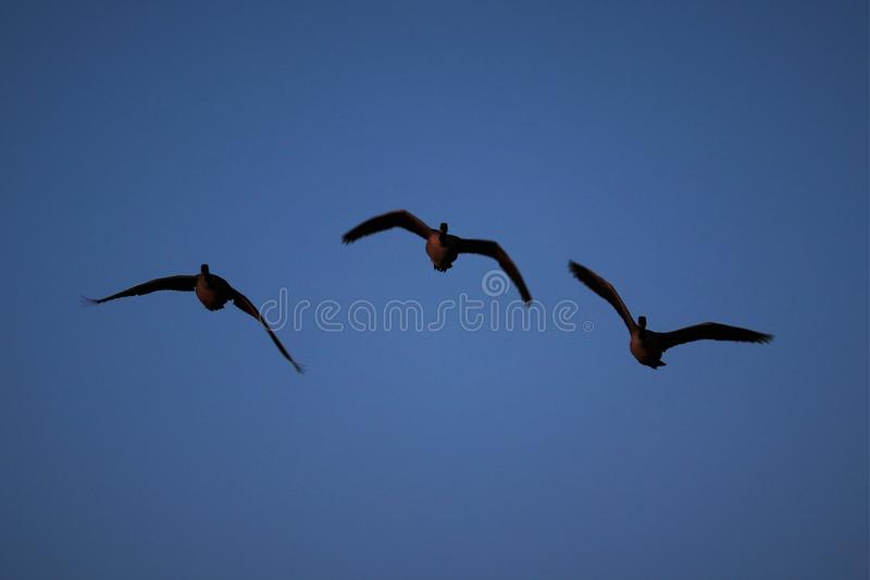 The Flying V by the geese stock image