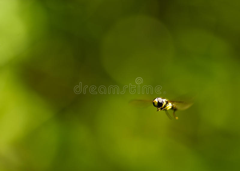 Flying Wasp royalty free stock photos